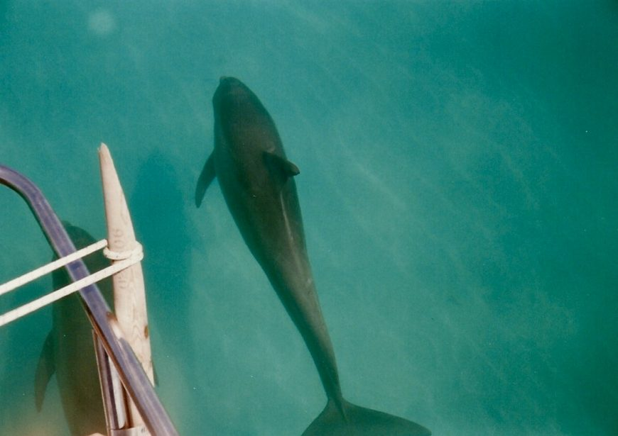 Wild bottlenose dolphin, Key West, Florida.