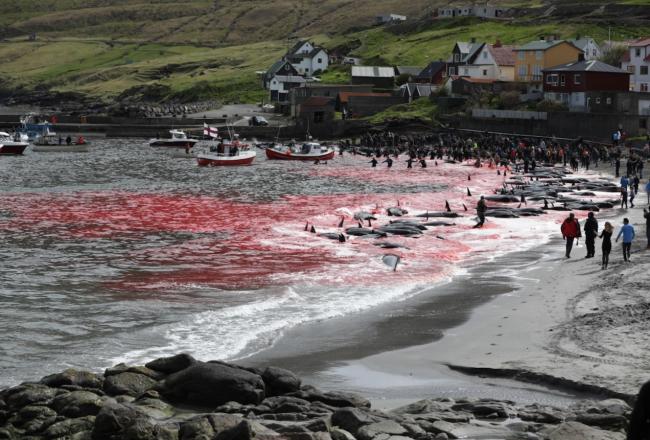 Faroese Pilot Whale Hunts