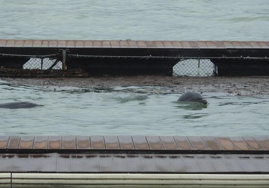 Captive dolphins swim amidst debris and muddy waters from Typhoon Trami- Dolphin Base, Moriura Bay, Taiji, Japan.