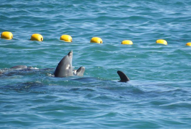 First Pod of Bottlenose Dolphins Captured in 2018-19 season, Taiji, Japan