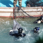 Bottlenose dolphin drive, Taiji, Japan